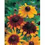 sommarrudbeckia-gloriosa-daisies-3