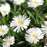 delosperma-white-improved---3-plantor-1