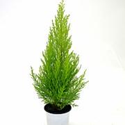 citronscypress-goldcrest-wilma-12cm-kruka-1