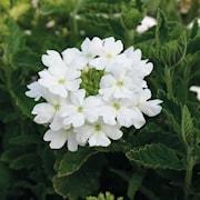 trdgrdsverbena-vepita-white---3-plantor-1