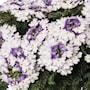 verbena-wicked-purple---3-plantor-1
