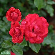 kordesii-ros-heidelberg-20cm-kruka-1