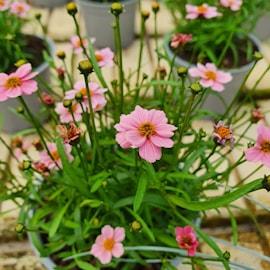 gonblom-twinklebells-pink-12cm-kruka-1
