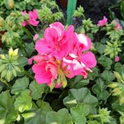 hngpelargon-medio-ana-pink-3st-sticklingar-1