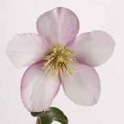 orientalisk-julros-sensas-13cm-kruka-1