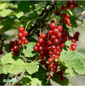 rda-vinbr-summer-pearls-red-17-19cm-kruka-1