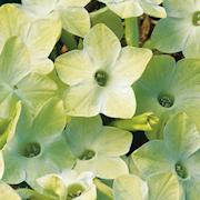 blomstertobak-saratoga-lime-105cm-kruka-1