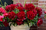 pion-red-charm-1st-2