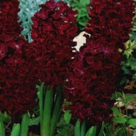 hyacint-woodstock-1