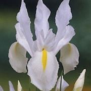 hollndsk-iris-white-van-vliet-20st-1