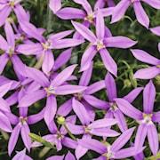 stjrnlobelia-pattis-pink---3-plantor-1