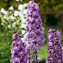 trdgrdsriddarsporre-magic-fountains-lilac-ros-1