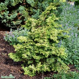japansk-delcypress-lycopodioides-c15-c2-1
