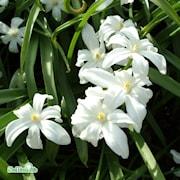 vrstjrna-alba-vit-storpack-50st-1
