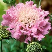 fltvdd-pink-mist-9cm-kruka-1