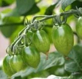 minitomat-green-envy-105cm-kruka-1