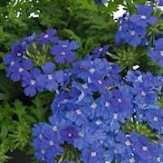 trdgrdsverbena-vepita-pearl-blue---3-plantor-1