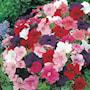 petunia-mr-fs-multiflora-mixed-f1-3