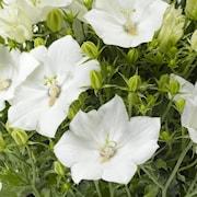 karpaterklocka-pristar-white-9cm-kruka-1