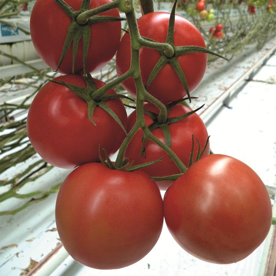 382/ Tomat (Klassiskt rund) 'Maxeza' F1