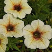 petunia-beautical-french-vanilla-105cm-kruka-1