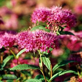 rosenspirea-anthony-waterer-3-35-l-co-1