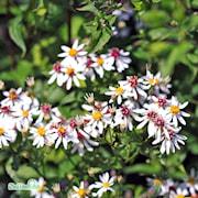 vit-skogsaster-9cm-kruka-1