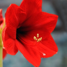 amaryllis-ferrari-1st-1