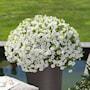 minipetunia-unique-white---3-plantor-2
