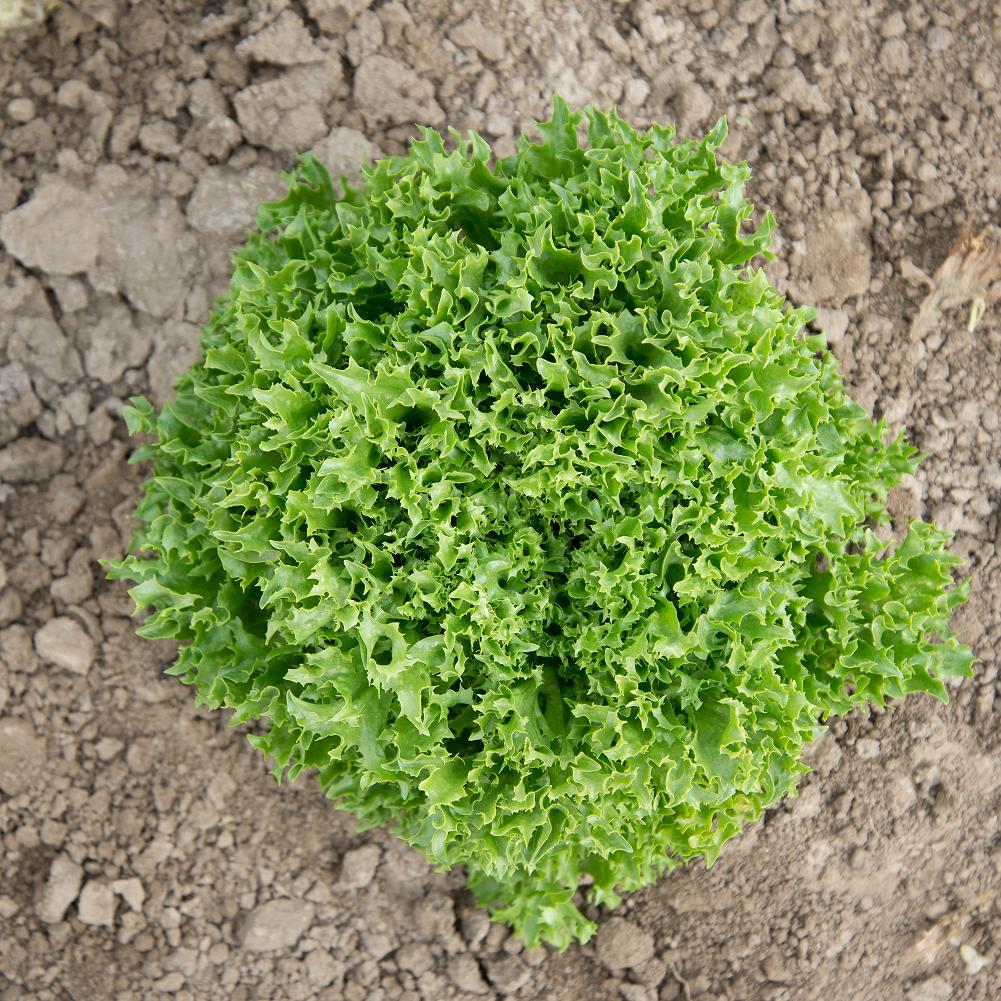 366/ Sallat Eazyleaf (grön) 'Ezrilla