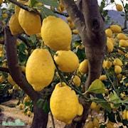 citron-9cm-kruka-1