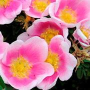 spinosissima-ros-hllestorp-gk-7cm-kruka-1