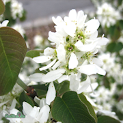 brhggmispel-alnifolia-barrotad-10-p-30-50cm-1