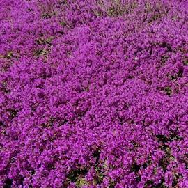 purpurtimjan-purple-beauty-9cm-kruka-1