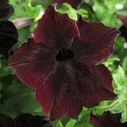 petunia-blackberry-105cm-kruka-1