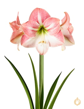 amaryllis-apple-blossom-1