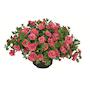 minipetunia-can-can-rosies-apricot-105cm-kruk-3