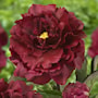 pion-black-beauty-1st-barrotad-1