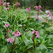 bergenia-herbstblte-12cm-kruka-1