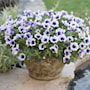 sweetunia-purple-spotlight---3-plantor-2