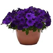 petunia-easy-wave-blue-f1-105-cm-kruka-1