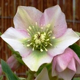julros-pretty-ellen-pink-1