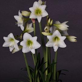 amaryllis-white-garden-1