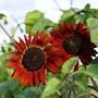 solros-velvet-queen-organic-4