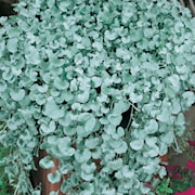 silvernjurvinda-silverfalls-12cm-kruka-1
