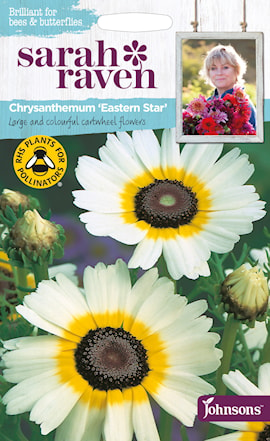 krysantemum-eastern-star-1