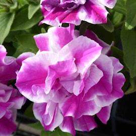 petunia-amarena-twist-105cm-kruka-1
