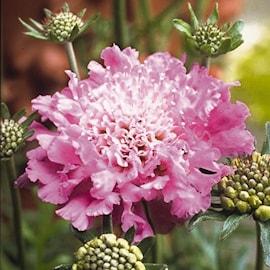 praktvdd-pink-mist---3-plantor-1