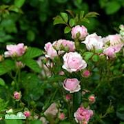 klasblommande-ros-the-fairy-20cm-kruka-1