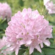 rhododendron-roseum-elegans-1